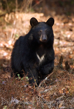 Black Bear Adults and Yearlings