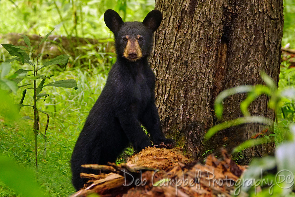 American Black Bear Cub<br /> Cades Cove<br /> Great Smoky Mountains National Park