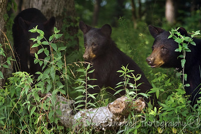 Black Bear Family Cades Cove Great Smoky Mountains