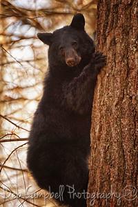 Bearly Hangin' On