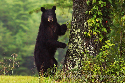 American Black Bear Sow Cades Cove Great Smoky Mountains