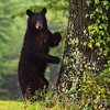 American Black Bear Sow<br /> Cades Cove<br /> Great Smoky Mountains