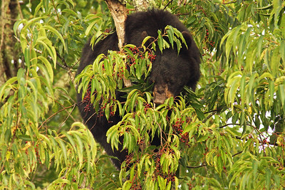 Bear in Cherry Tree