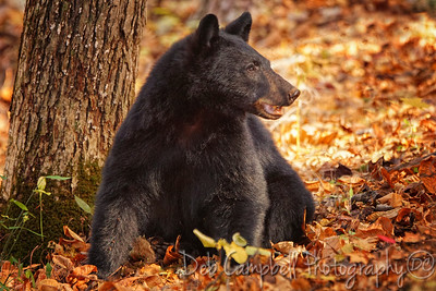 Harvest Bear
