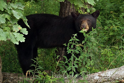 Black Bear Sow Cades Cove Great Smoky Mountains