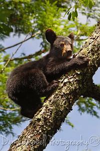 American Black Bear Cub Cades Cove Great Smoky Mountains National Park