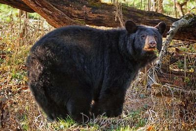 Plump Black Bear