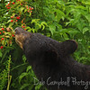 American Black Bear feeding on Wild Blackberries in Cades Cove Great Smoky Mountains