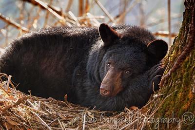 Nesting Bear