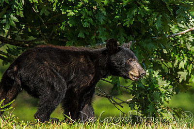 American Black Bear Yearling Cades Cove Great Smoky Mountains