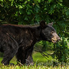 American Black Bear Yearling<br /> Cades Cove<br /> Great Smoky Mountains