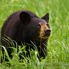 While photographing this beautiful young bear enjoying his Spring greens, he glanced up above briefly to show me the light in his eyes. <br /> I felt as if I could see right into his soul and it made me smile.  <br /> Cades Cove<br /> Great Smoky Mountains
