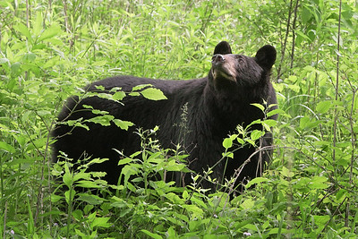 Mother Bear at Oliver place 2019