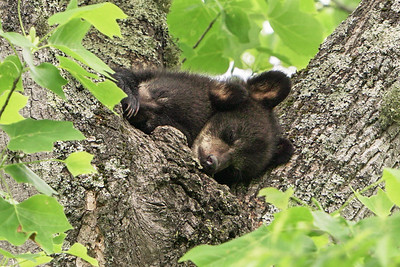 Mother Bear at Oliver place 2019 cubs
