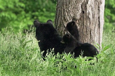 Hazel and her cubs 2019
