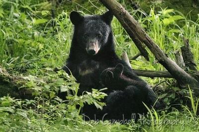 Black Bear and cub 2019