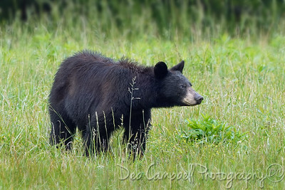 Momma Bear-Mable