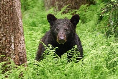 Momma Bear in the Ferns