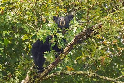 Bear in an Oak Tree
