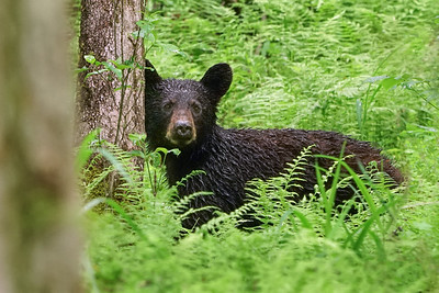 Yearling bear in the Ferns