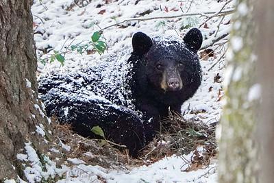 Snow Covered Bear
