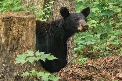 Black Bear on Hyatt Lane