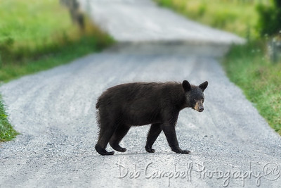 American Black Bear on Sparks Lane