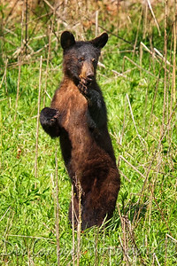 Yearling Bear