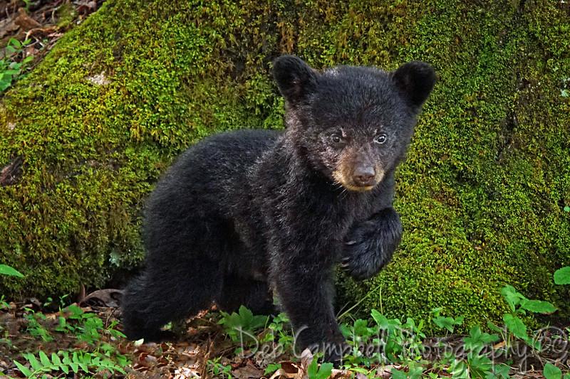 Newborn Cub Posing by a mossy tree.