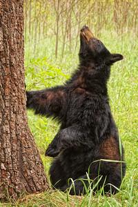 Black Bear Sow