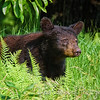 Black Bear in the Ferns