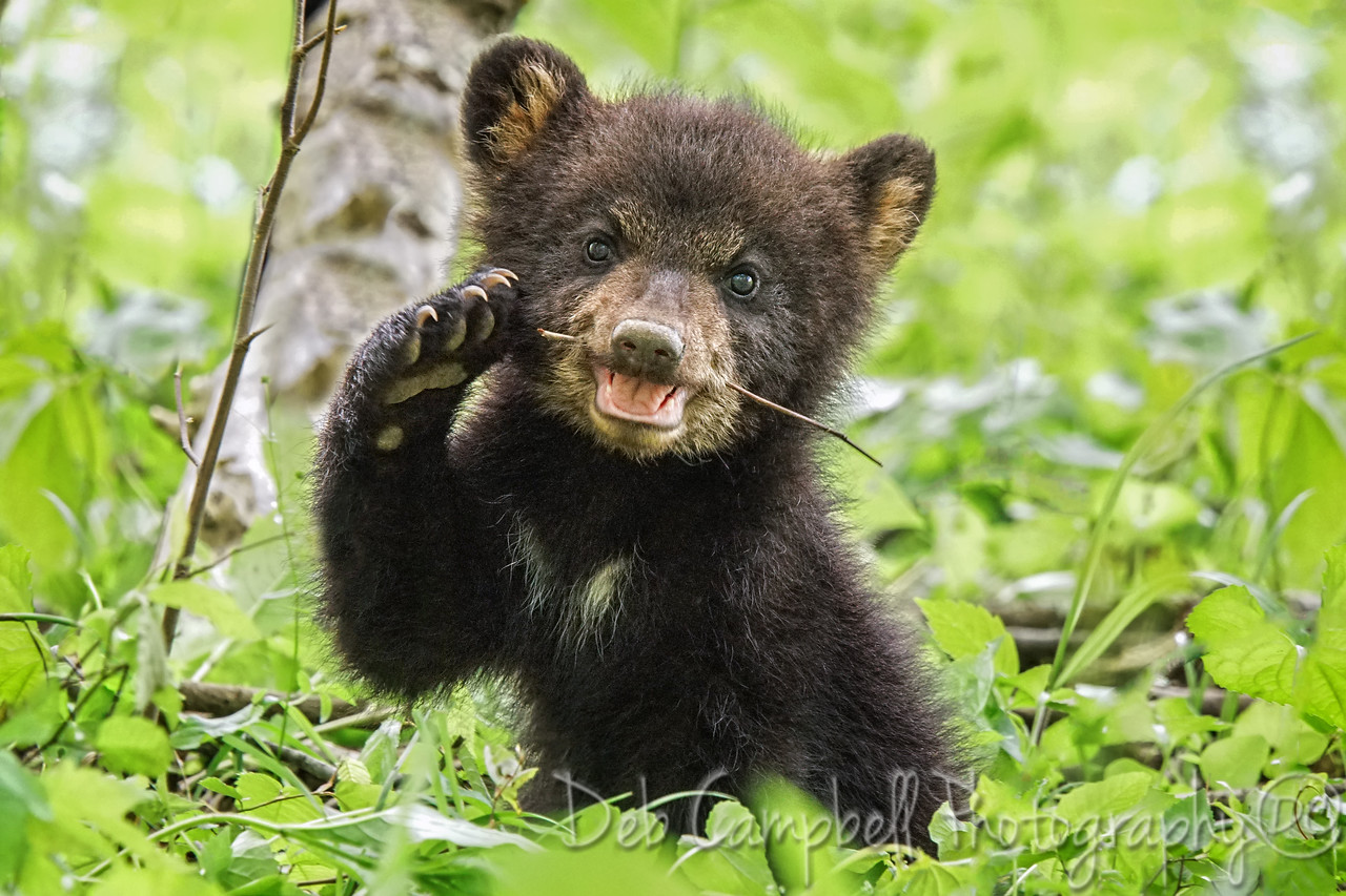 Spring Cub with Stick