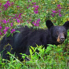 Black Bear Sow in Ironweed