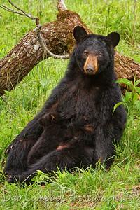 Mother bear nursing her cub