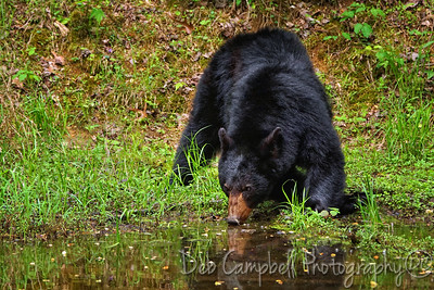 Bear having a drink of water.