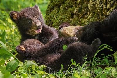 American Black Bear Family