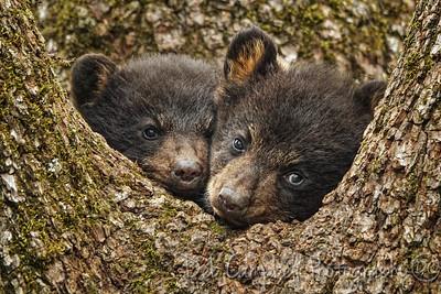 Bear Cub Cuddles