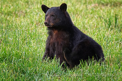 American Black Bear Sow