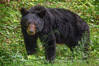 Scarlett Bear