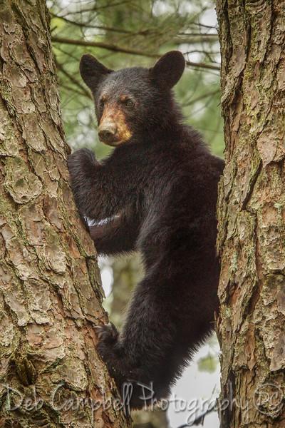 Yearling Bear in Tree
