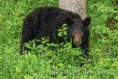 Bear in the Wildflowers