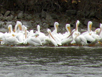 American White Pelicans – Fall 2017 migration 11/29/17 Wed      30 birds at 930am – at Marine Point near Bay Island