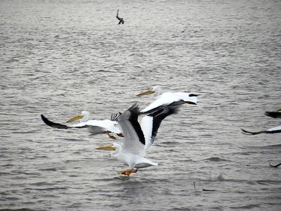 Pelicans - Lake Springfield IL – 2018 – WINTER-SPRING