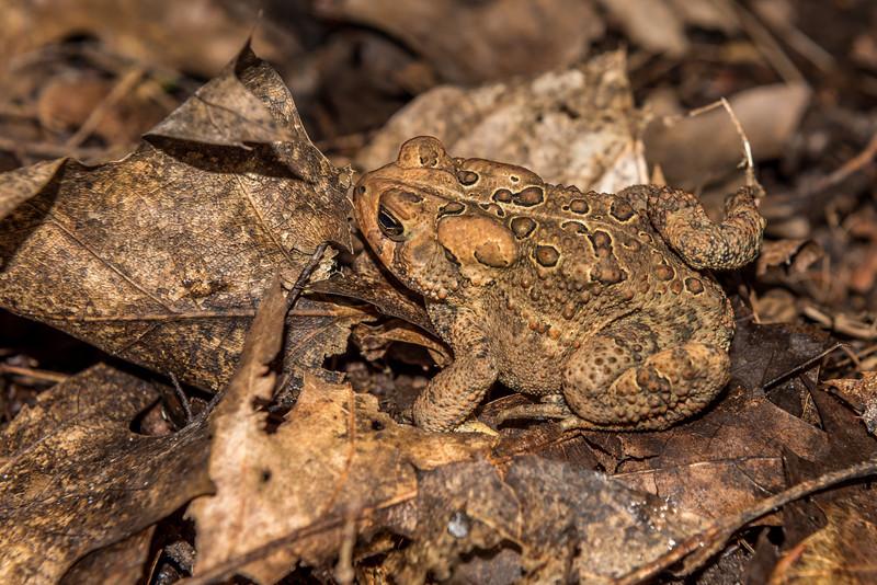 American toad (Anaxyrus americanus). North Mirror Lake Trail, Porcupine Mountains, Michigan.