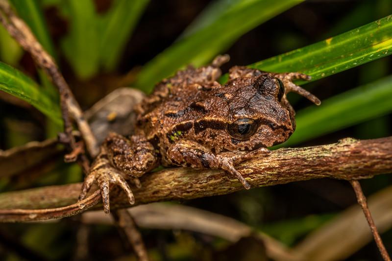 Archey's frog (Leiopelma archeyi). Mahakirau, Coromandel.