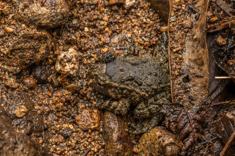 Hochstetter's frog (Leiopelma hochstetteri). Mahakirau, Coromandel.