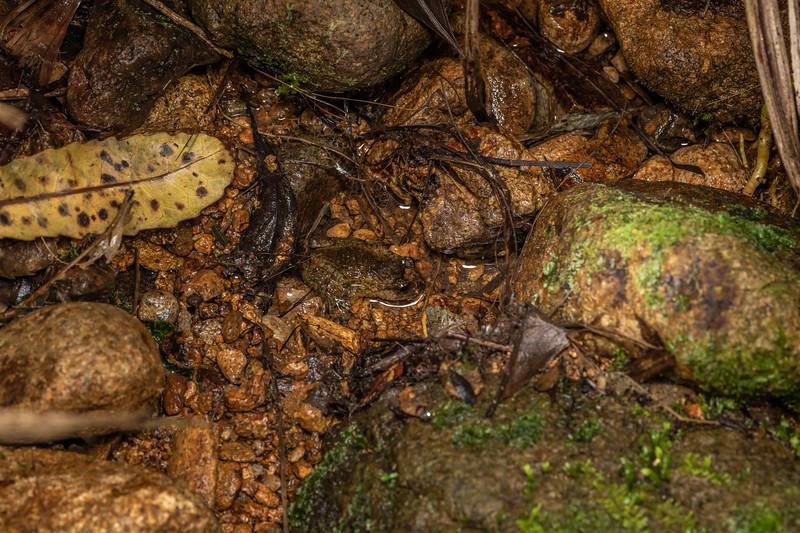 Hochstetter's frog (Leiopelma hochstetteri). Driving Creek, Coromandel.
