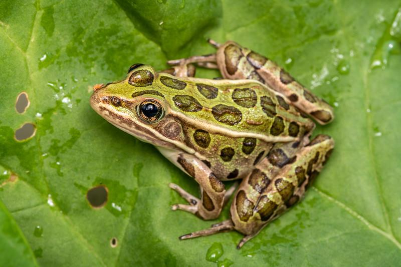 Northern leopard frog (Lithobates pipiens). Maple Grove, MN.