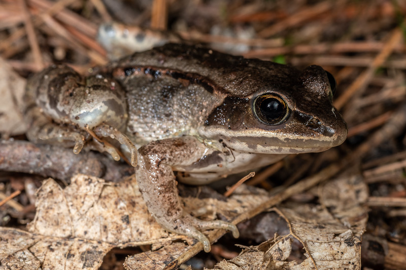 Wood frog (Lithobates sylvaticus). <br /> Wild River State Park, MN, USA.