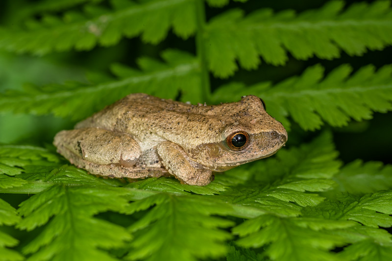 Spring peeper (Pseudacris crucifer). <br /> Wild River State Park, MN, USA.